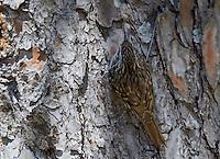 Short-toed Treecreeper (Certhia brachydactyla) Extremadura, Spain. April 2009
