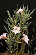 Bitter kambro, Adenium oleifolium, Limpopo, South Africa