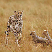 Cheetah, (Acinonyx jubatus) Mother and cubs on plains in rain. Masai Mara Game Reserve. Kenya. Africa.