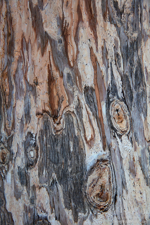 The trunk of a Marina Madrone (Arbutus 'Marina') shows abstract patterns as its bark peels in San Jose, California.