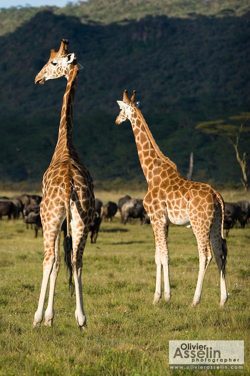 Giraffes, Lake Nakuru National Park, Kenya.