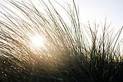 Marram grass against the light of the morning sun in the dunes of The Hague at the Zuiderstrand in The Hague.   Helmgras in het tegenlicht van de ochtendzon in de haagse duinen bij het zuiderstrand in Den Haag.