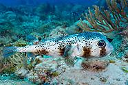 Spot fin porcupinefish (Diodon hystrix)