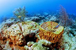 giant barrel sponge, Xestospongia .muta, and gorgonians, .Captain Keith's Reef, Key Biscayne, .Miami, Florida (Atlantic).