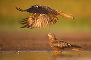 Black Kite (Milvus migrans) in flight Photographed at the Ein Afek nature reserve, Israel in October