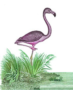 Flamingo stands at waters edge [Flamingos or flamingoes are a type of wading bird in the family Phoenicopteridae, the only bird family in the order Phoenicopteriformes. Four flamingo species are distributed throughout the Americas, including the Caribbean, and two species are native to Africa, Asia, and Europe].  Copperplate engraving From the Encyclopaedia Londinensis or, Universal dictionary of arts, sciences, and literature; Volume XX;  Edited by Wilkes, John. Published in London in 1825