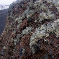Lichens grow on a boulder near Whaler's Bay on Deception Island, a recently active volcanic caldera in Antarctica.