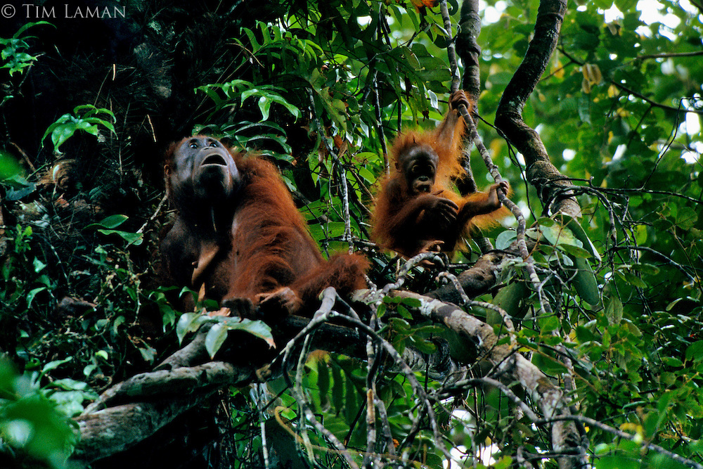Adult female Bornean Orangutan (Pongo pygmaeus) with juvenile playing on vine nearby.  Gunung Palung National Park, West Kalimantan, Indonesia.