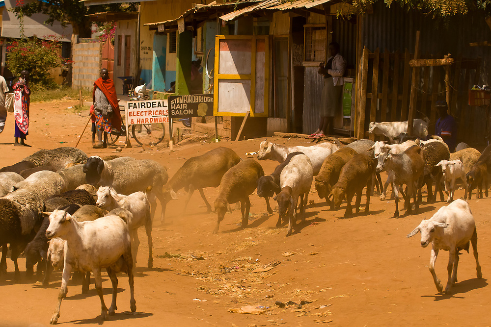 Goats wondering through a Maasai village near the Tanzania border, Kenya