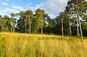 Heathland vegetation with Scots pine tree, Pinus sylvestris, Sutton Heath, near Shottisham, Suffolk, England, UK