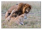 Lions mating in Maasai Mara, Kenya. Nikon D500, 200-400mm @ 200mm (300mm in full frame), f4, 1/500sec, ISO800, Aperture priority