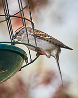 Chipping Sparrow. Image taken with a Fuji X-T1  camera and 55-200 mm VR lens.