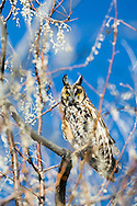 Long Eared Owl, Idaho
