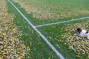 Springer spaniel sits on leaves dropped from overhead ash trees have been blown off football pitch lines by council workers in Ruskin Park, London borough of Lambeth.