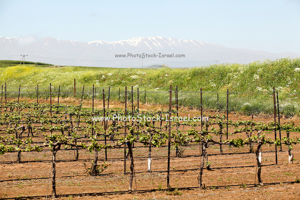 Grapevines in a vineyard. Photographed in the Golan Heights, Israel