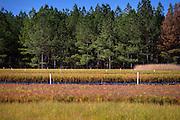 KITE, GA - DEC., 15, 2016: Thomas Meeks of Meeks Farms and Nursery grows slash, loblolly and long leaf pine seedlings, Thursday, December 15, 2016, in Kite, Ga. (Photo by Stephen B. Morton for Georgia Forestry Magazine)