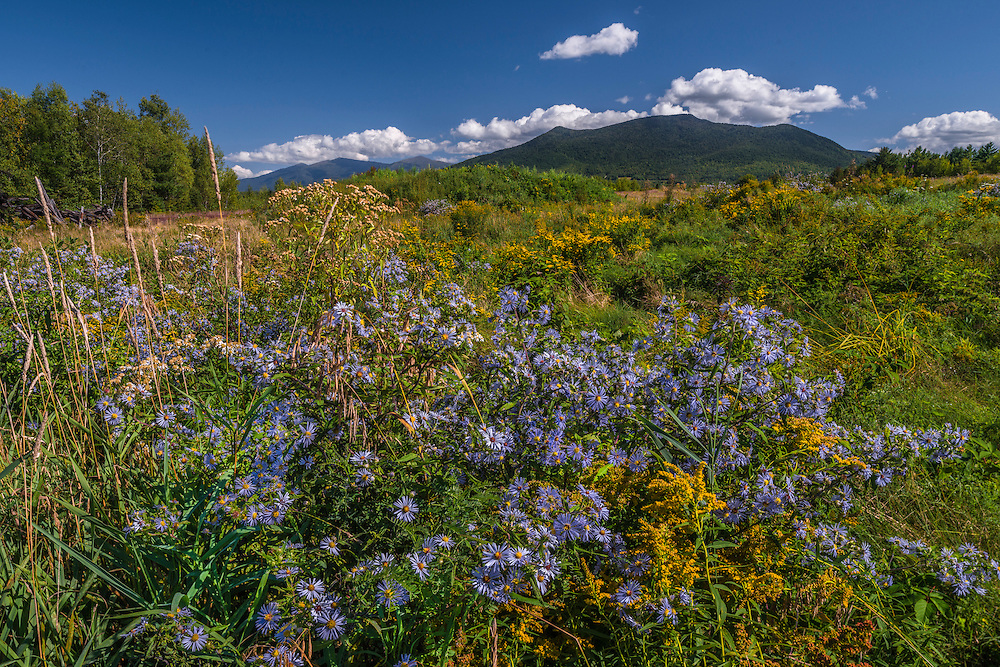 Asters with Northern Presidentials on left and Cherry Mtn on right, late summer wildflowers, Whitefield, NH