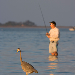 A great blue heron, Ardea herodias, joins a fisherman on the causeway in Dunedin, Florida.