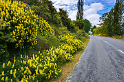 Cyclists and wildflowers on the Alps to Ocean Cycle Trail at Lake Aviemore, Canterbury, South Island, New Zealand