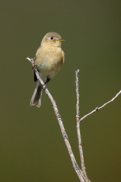 Buff-breasted Flycatcher - Empidonax fulvifrons