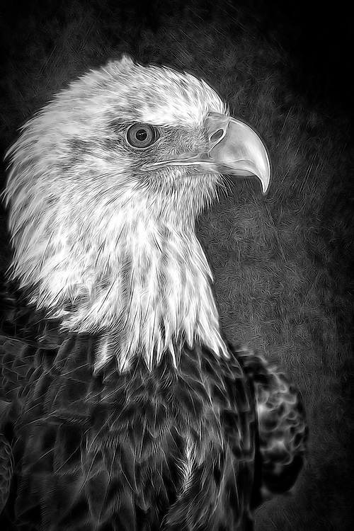 An Injured Eagle In Black and White