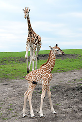 A nine-day-old Rothschild's giraffe calf (right) explores its enclosure at West Midlands Safari Park in Bewdley, Worcestershire.