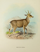 The taruca (Hippocamelus antisensis), or north Andean deer [Here as Peruvian Guemal] , is a species of deer native to South America.  from the book ' The deer of all lands : a history of the family Cervidae, living and extinct ' by Richard Lydekker, Published in London by Ward 1898