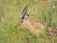 Two Common Impalas, Aepyceros melampus melampus, grazing in Tarangire National Park, Tanzania