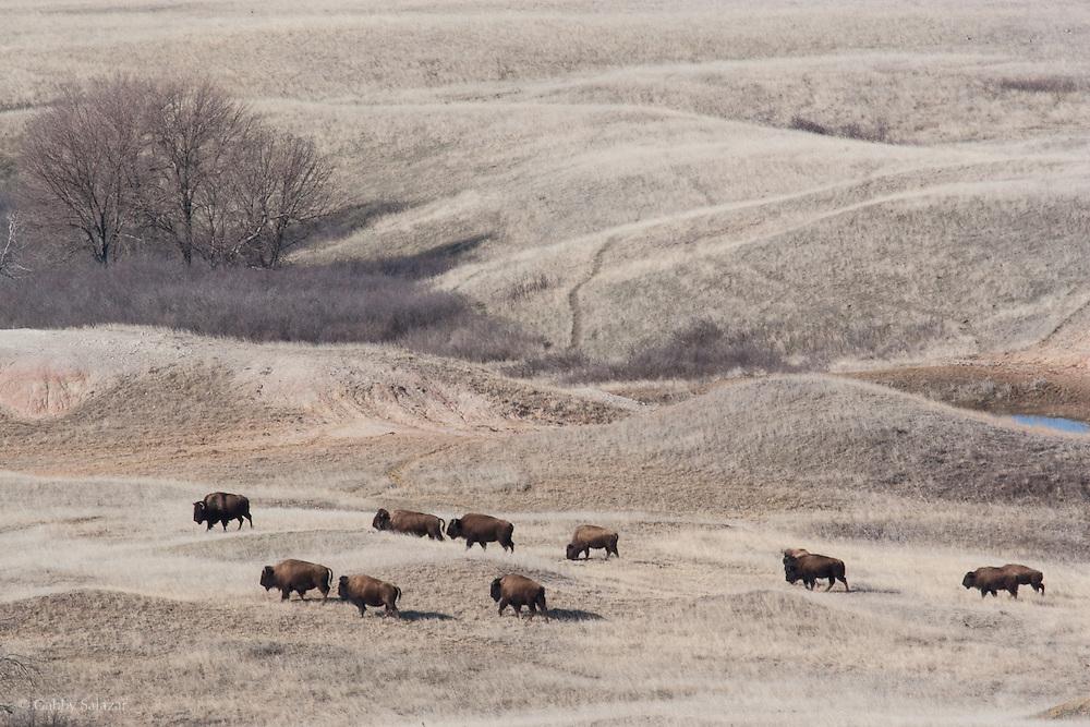 American bison, Badlands National Park, South Dakota, USA.
