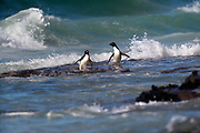 Two Southern Rockhopper penguins emerge from the sea on Sunday 4th February 2018.