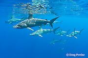 schooling female scalloped hammerhead sharks, Sphyrna lewini, Kona Coast, Hawaii Island ( the Big Island ), Hawaiian Islands, U.S.A. ( Central Pacific Ocean )