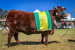 Grande Campea da raça Devon na 38ª Expointer, que ocorre entre 29 de agosto e 06 de setembro de 2015 no Parque de Exposições Assis Brasil, em Esteio. FOTO: Vilmar da Rosa/ Agência Preview