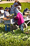 Mexican agriculture workers harvest celery in the Imperial Valley Niland, CA.