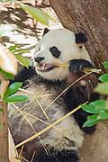 San Diego Zoo, Panda, California