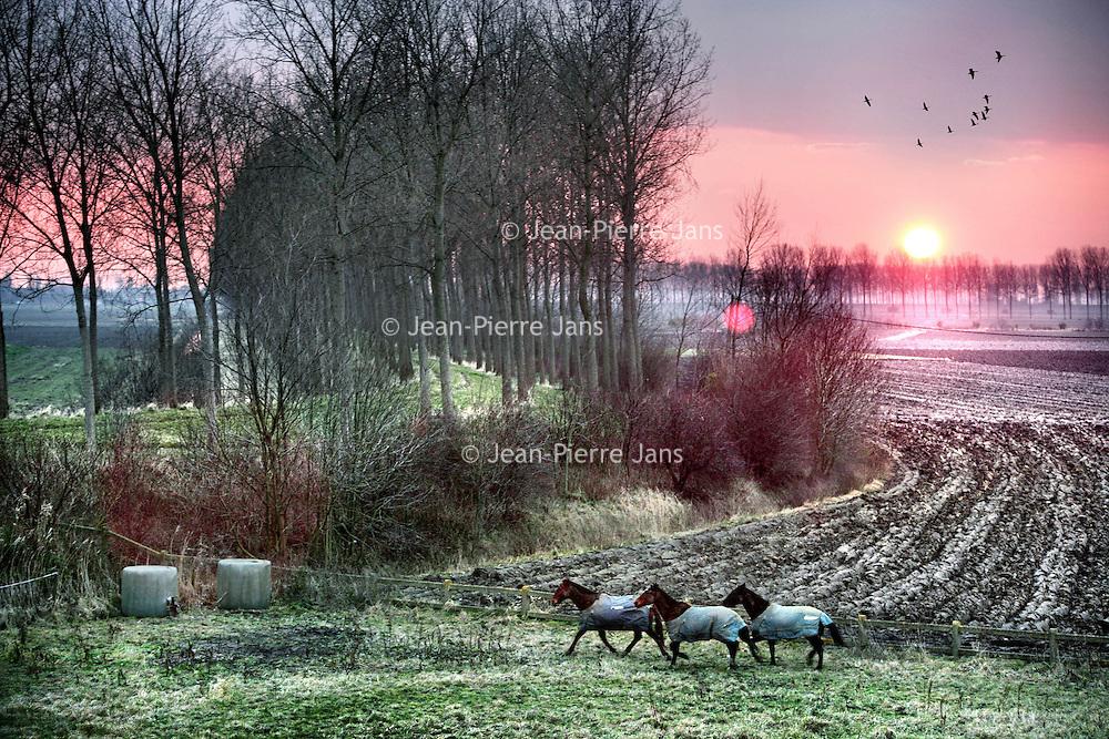 """Nederland,Emmadorp,Land van Saaftingen ,16 december 2007..Ondergaande zon in de Hertogin Hedwigepolder..Het Verdronken Land van Saeftinghe is een getijdengebied aan de uiterste oostkant van Zeeuws-Vlaanderen op de grens met België enkele kilometers stroomafwaarts van Antwerpen in het estuarium van de Schelde. Het gebied heeft een oppervlakte van 3484 hectare dat grenst aan het water van de Westerschelde. Ongeveer 70% van dat oppervlak is begroeid met schorplanten. De rest bestaat uit zandplaten, slikken en geulenstelsels..Saeftinghe is een Zeeuws natuurmonument van grote klasse en tegelijk ook een soort van open lucht tentoonstelling: nergens anders meer in West-Europa is op zo'n grote schaal te zien en te ervaren hoe het Deltagebied is ontstaan en is geboetseerd uit de elementen schor, slik en zand. .Ieder tij overspoelt het brakke water een groot deel van het gebied. De flora is hieraan geheel aangepast en uniek. Voor duizenden vogels is Saeftinghe een gebied van internationaal belang. Niet alleen als broedgebied, maar ook als overwinterings- en rustgebied. Sunset in the Hertogin Hedwigepolder with three horses..The polder is due to be """"given back"""" to nature, let the sea in and drown it."""
