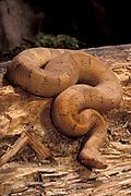 New Guinean Boa Snake, Candoia aspera, Solomon Islands, New Guinea, also known as Viper Boa
