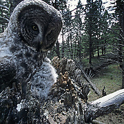 Great Gray Owl female perched on an extending branch near a nest during spring.