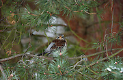 Fieldfare<br /> *ADD TO CART FOR LICENSING OPTIONS*
