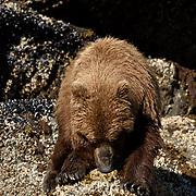 Alaskan Brown Bear, (Ursus middendorffi)  Close up of bear opening clam. Katmai National Park. Alaska.
