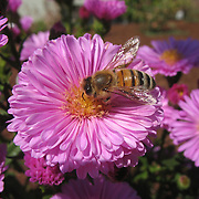 """Asters get their name from the ancient Greek word ????? (astér), meaning """"star"""", referring to the shape of the flower head. Many species and a variety of hybrids are popular as garden plants because of their attractive and colourful flowers...Bees play an important role in pollinating flowering plants. Bees either focus on gathering nectar or on gathering pollen. It is estimated that one third of the human food supply depends on insect pollination, most of which is accomplished by bees, especially the domesticated European honey bee."""