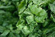 Selective focus close up of Spinach leaves