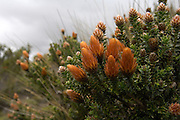 Yanahurco - Wednesday, Dec 26 2007: Chuquiragua is a plant that grows on the paramo. Hacienda Yanahurco is situated in the Cordillera Real de Los Andes on the South-eastern flank of Cotopaxi Volcano.  (Photo by Peter Horrell / http://www.peterhorrell.com)