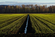 Florida, New York - The late afternoon sun shines on onionfields in the Black Dirt region of Orange County on  April 27, 2014.