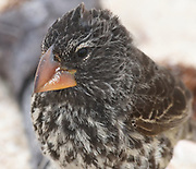 Portrait of a female large ground finch (Geospiza magnirostris) with its massive beak on the sandy Playa Ochoa beach. This species is endemic to Galapagos. Playa Ochoa, San Cristóbal, Galapagos, Ecuador.