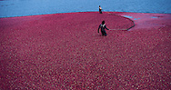 Massachusetts. Cranberry Harvest in Wareham These United States book Page 176: Top: