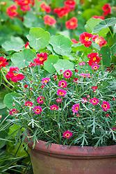 Long tom pot with Argyranthemum 'Cherry Red'. Trapaeolum majus 'Cherry Rose' behind. Nasturtium