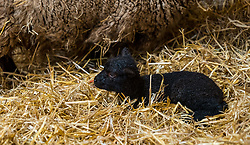 East Lothian, Scotland, United Kingdom. Shetland sheep lambs: Briggs Pure Bred Shetland Lambs maintain flocks in East Lothian and Shetland. Day 2 of lambs being born sees the arrival of a single lamb for one ewe and twins for another; all of them dark. Pictured: this ewe produced only one lamb. <br /> Sally Anderson   EdinburghElitemedia.co.uk
