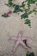 sea star and kelp on sandy beach during low tide at Railto Beach Washington