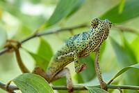 Chameleon in Unguja aka Zanzibar Island Tanzania East Africa