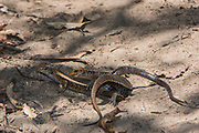 Plated lizard (Zonosaurus laticaudatus)<br /> Ampijoroa<br /> Ankarafantsika Nature Reserve<br /> West Madagascar<br /> MADAGASCAR<br /> ENDEMIC<br /> Mating